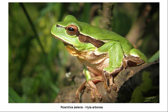 rosnička zelená - Hyla arborea